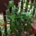 Home grown capsicums