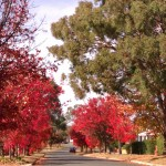 Autumn street colour - Chinese pistachios with gum tree - April 2013