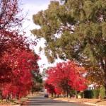 Autumn street colour - Chinese pistachios with gum tree - April 2013
