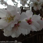 Almond blossoms August 2013